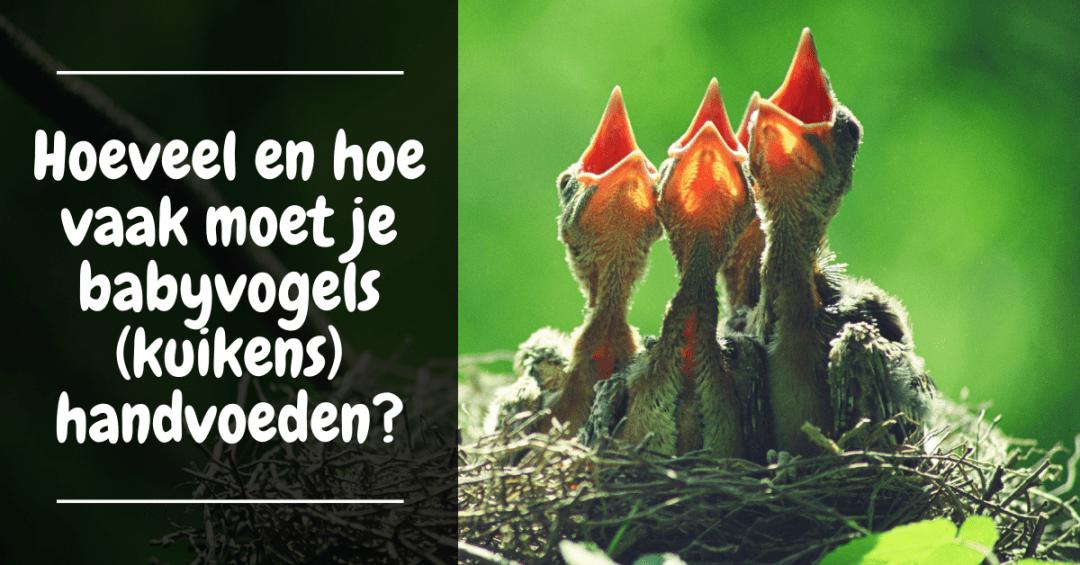 Hoeveel en hoe vaak moet je babyvogels (kuikens) handvoeden?