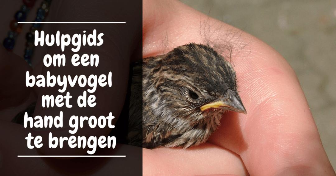 Hulpgids om een babyvogel met de hand groot te brengen