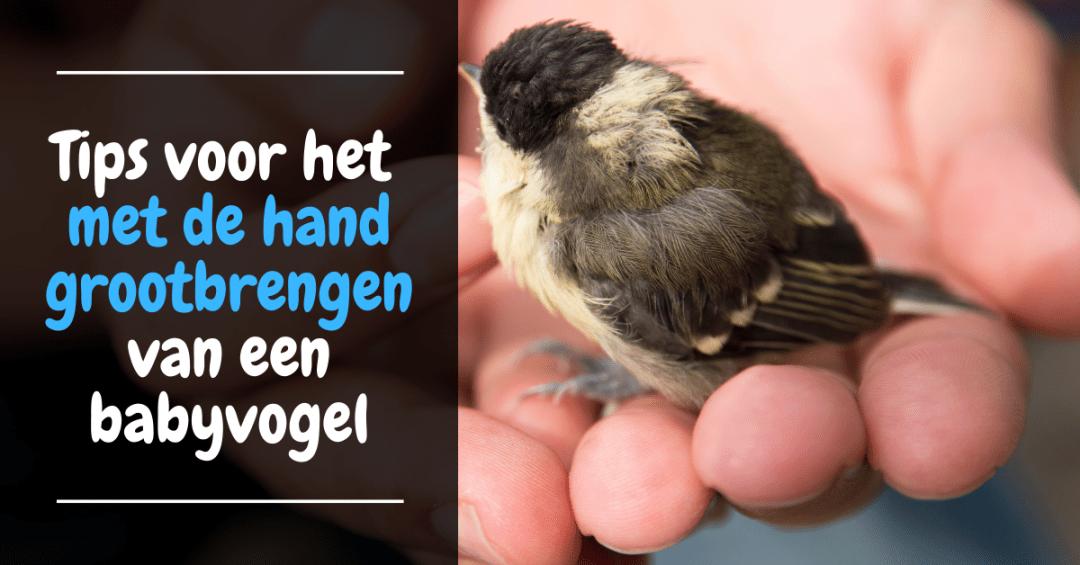 Tips voor het met de hand grootbrengen van een babyvogel