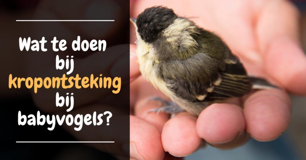 Wat te doen bij kropontsteking bij babyvogels