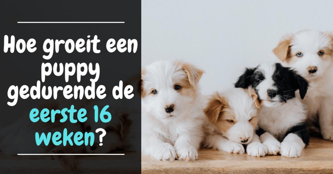 Hoe groeit een puppy gedurende de eerste 16 weken?