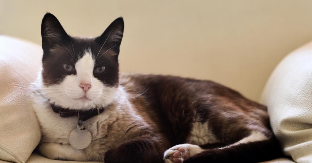 beste vlooienband katten de correcte vlooienband voor katten