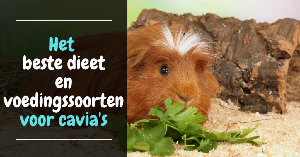 Het beste dieet en voedingssoorten voor cavias