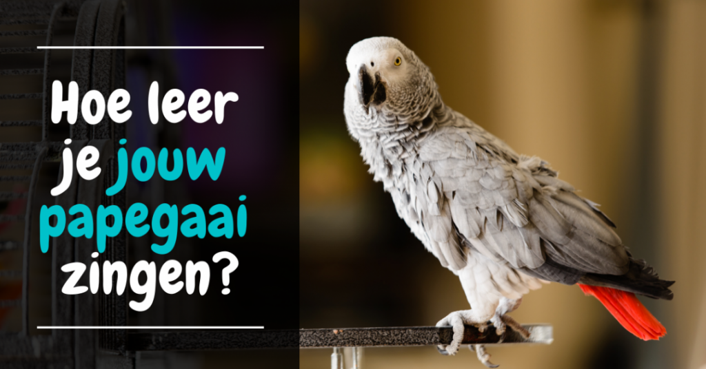 Hoe leer je jouw papegaai zingen training spreken zingen papegaai parkiet
