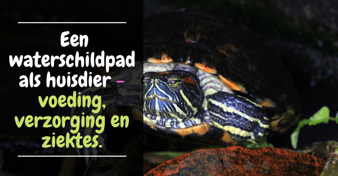 Hulpgids voor het houden van een waterschildpad als huisdier - voeding verzorging ziektes aquarium schildpad