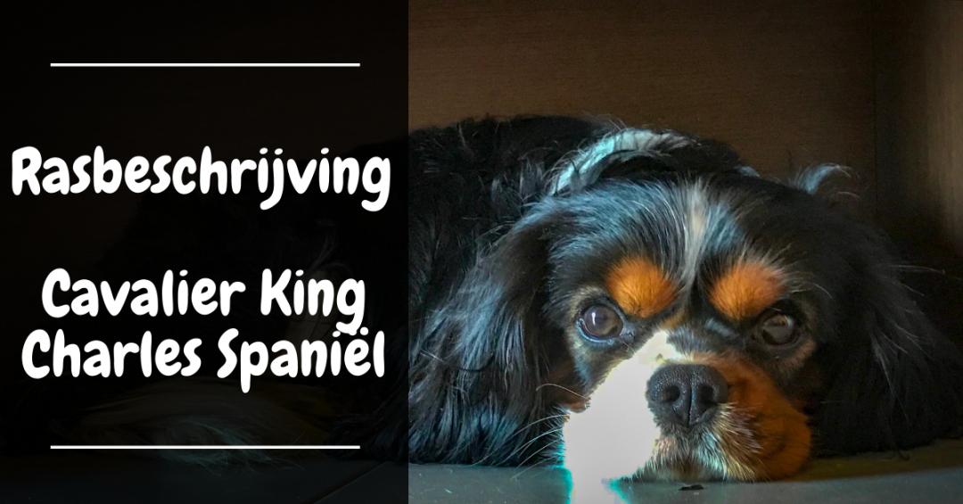 rasbeschrijving cavalier king charles spaniel karakter verzorging gezelschapshond