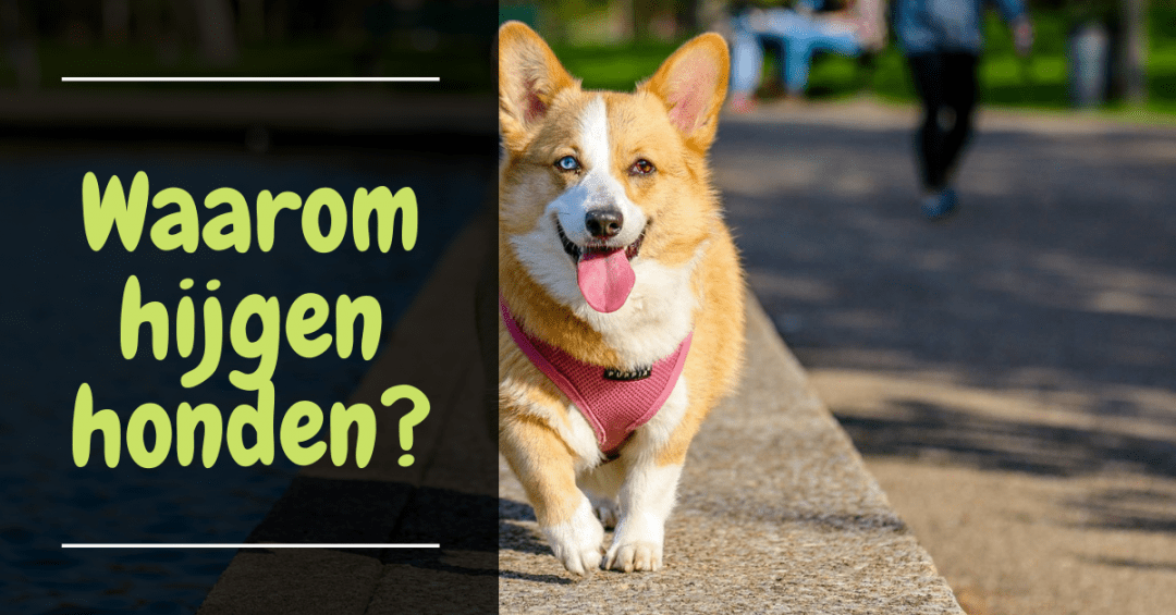 waarom hijgen honden hond hijgen reden hijgen gedrag