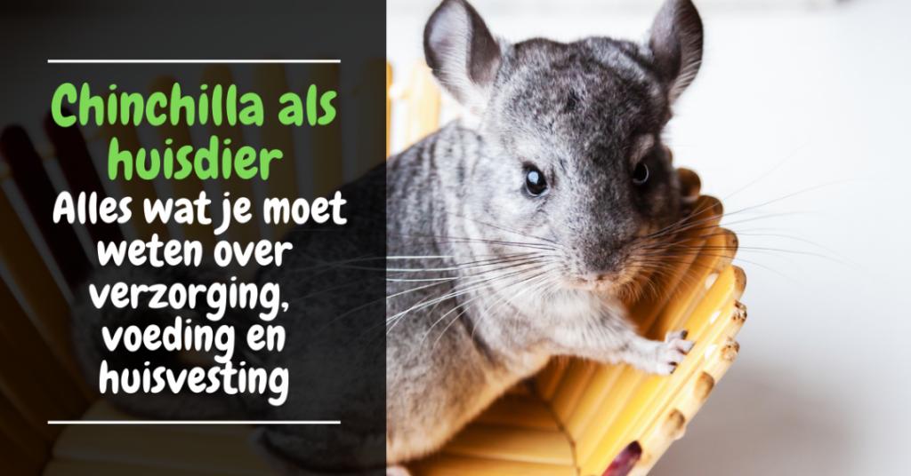 chinchilla als huisdier - alles over verzorging voeding kooi ziekte spelen - chinchilla kopen huisdier