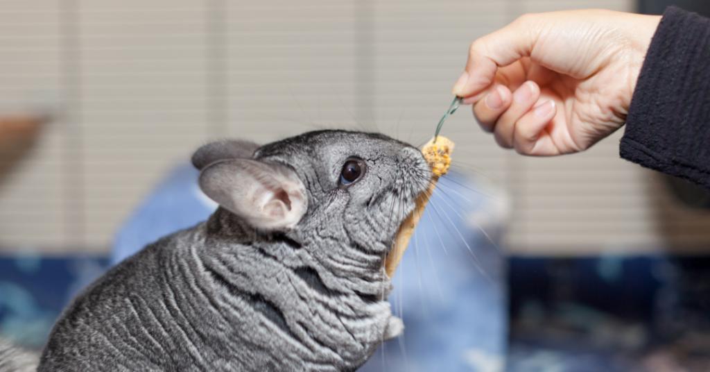 chinchilla eet uit hand - huisdier gids voeding huisvesting kosten verzorging gezondheid chinchilla