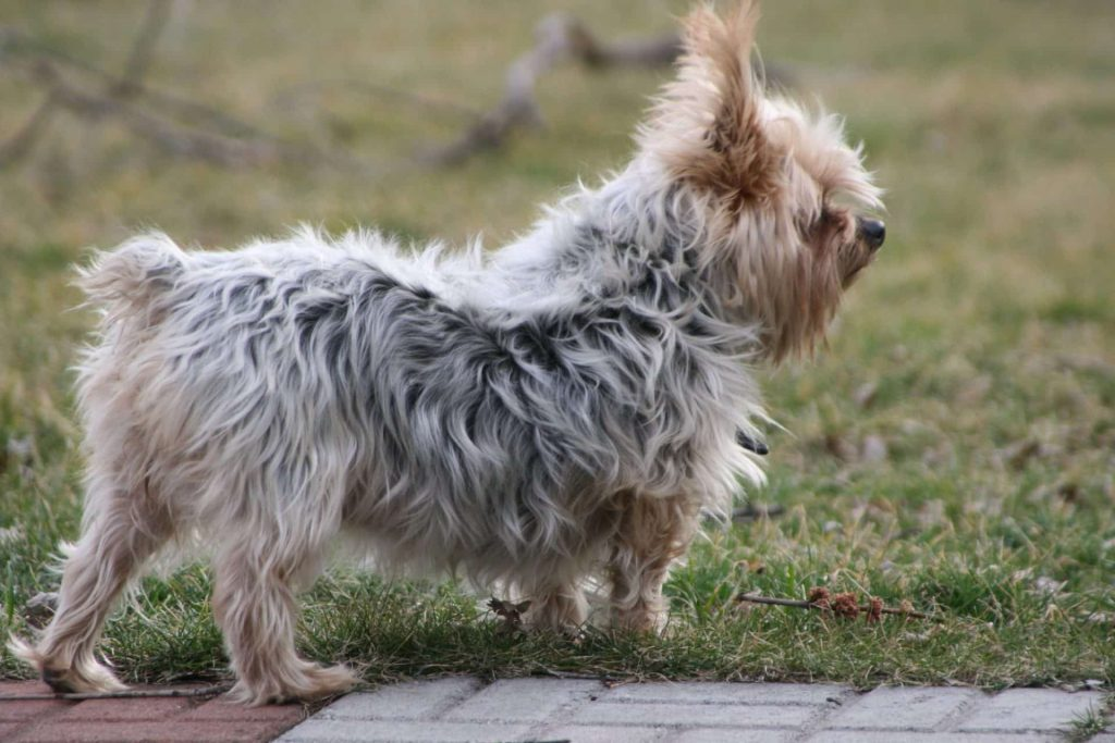 De Australische Silky Terrier