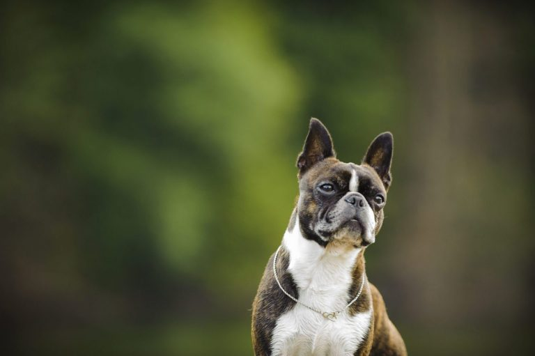 De Boston Terrier
