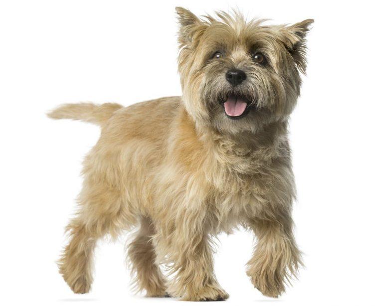 De Cairn Terrier