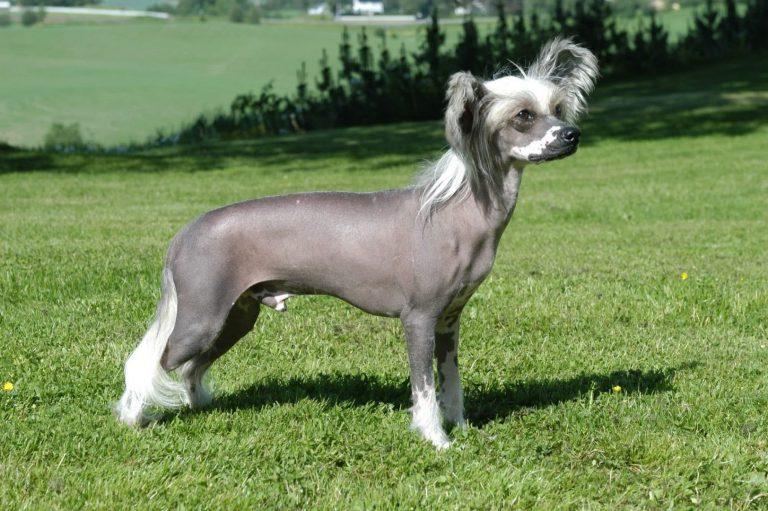 De Chinese naakthond