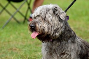 De Glen terrier