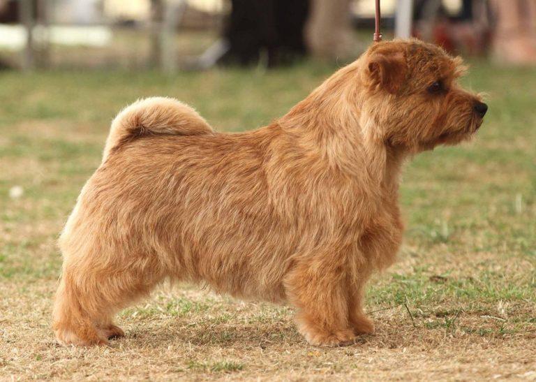 De Norfolk Terrier