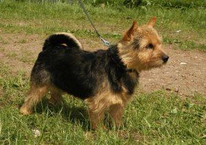De Norwich Terrier