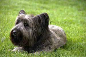 De Skye Terrier