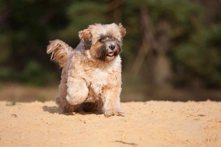 De Tibetaanse terrier
