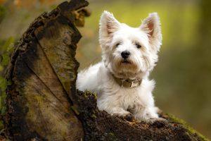 De West Highland White terrier