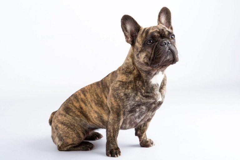 De franse bulldog