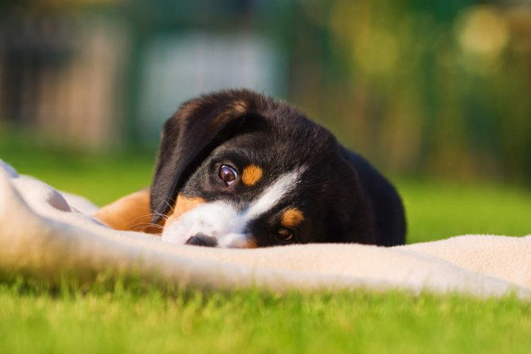 Entlebucher Sennenhond